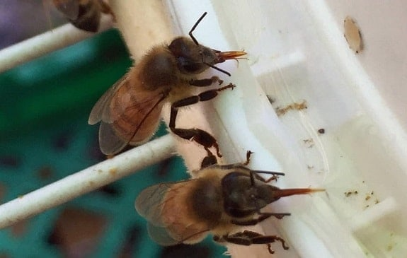 Bees Drinking Sugar Water from Feeder