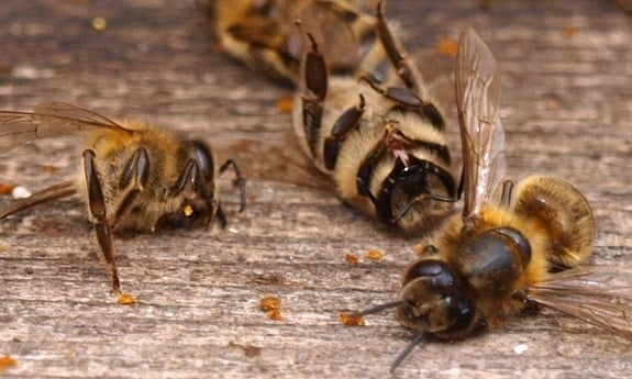 Dead Honey Bees from Robbing