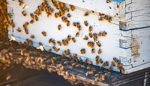 How to Prevent and Stop Robbing Bees