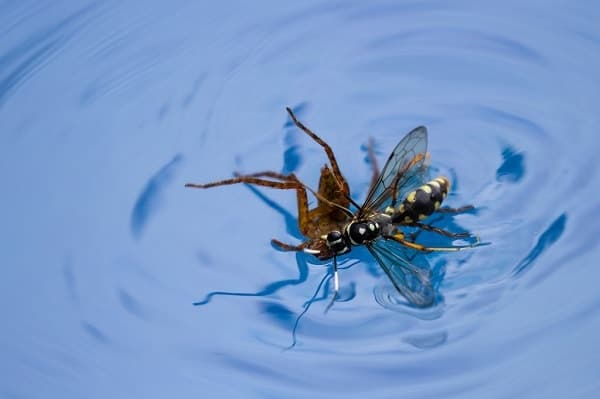 Wasp in a Pool