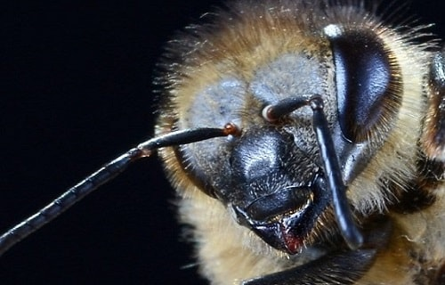 Scary Angry Looking Bee